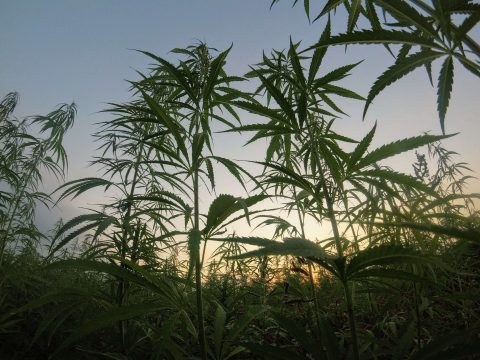hemp-news-uk